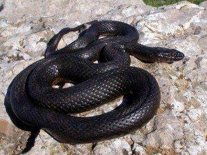 змея черная