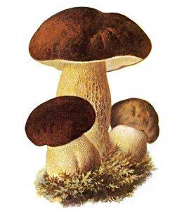 боровик белый гриб