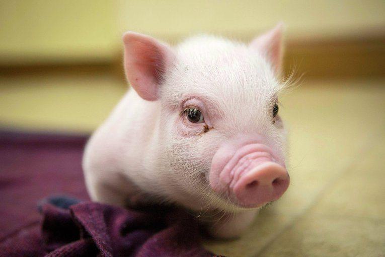 К чему снятся дохлые свиньи и поросята фото