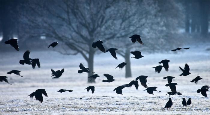 К чему сниться стая ворон