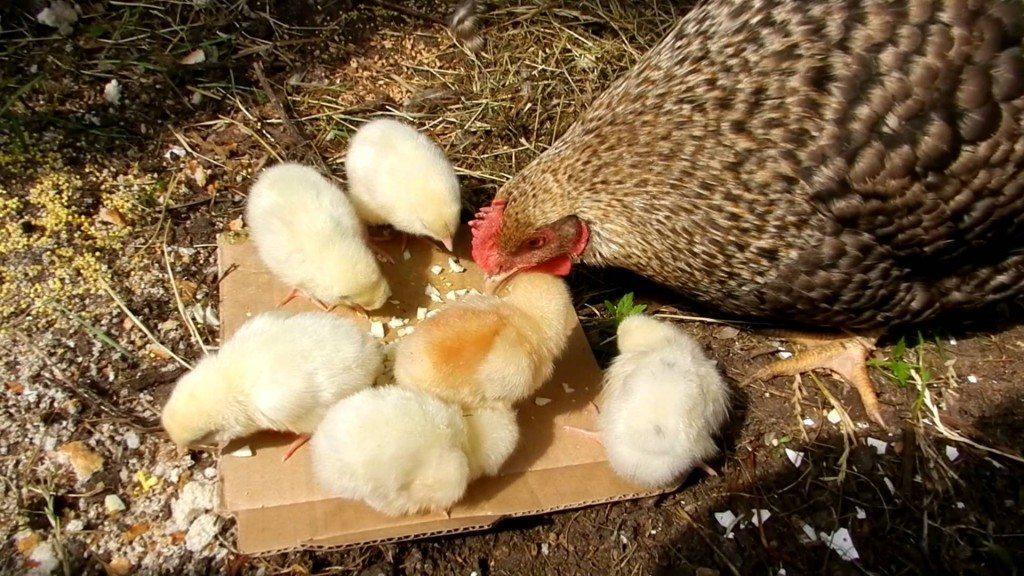 к много снятся чему маленьких женщине цыплята