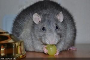 Схватить крысу во сне означает с презрением относиться к человеческой низости.