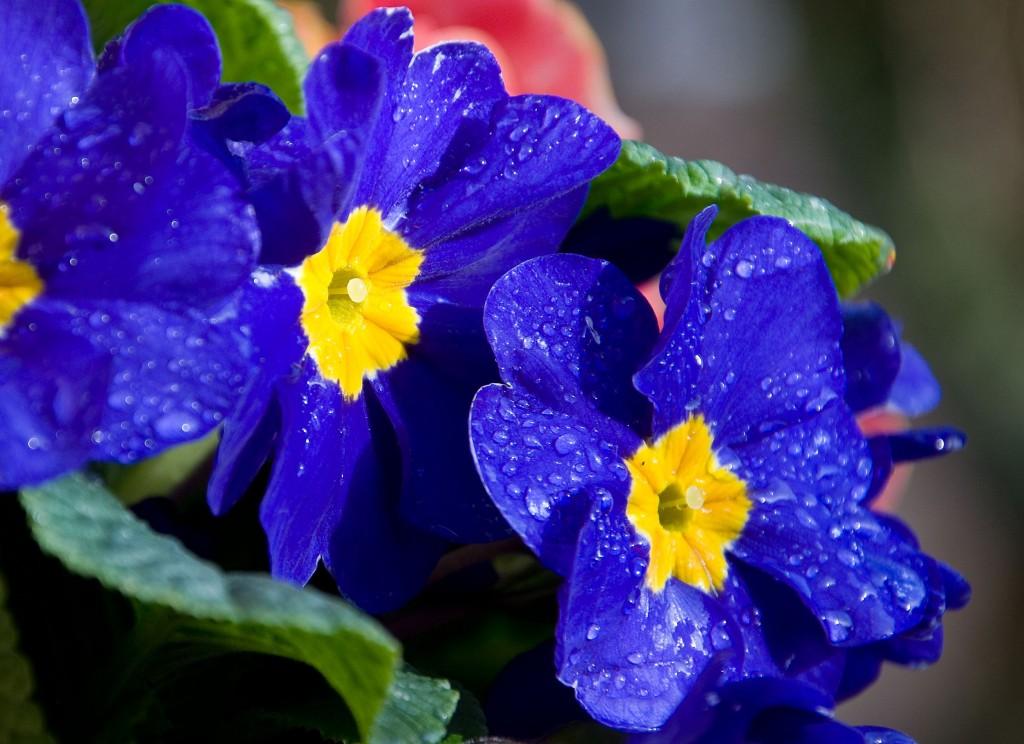 Фото синих цветков