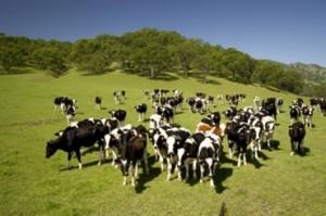 Толкование снов стадо коров и утята фото