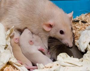 крыса с крысятами