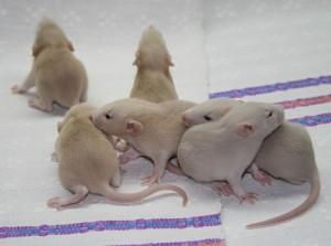 серые крысята