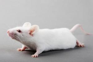 мышь бежит