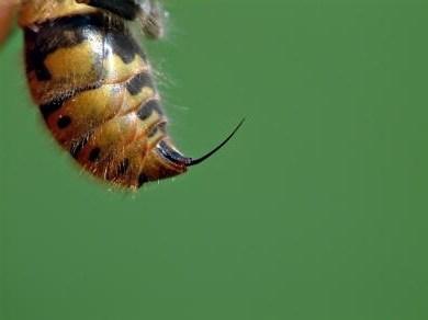 К чему сниться что кусают осы