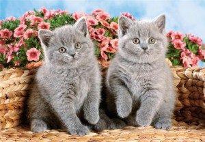 серые коты