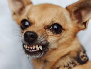 собака злая