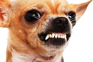 злая рыжая собака
