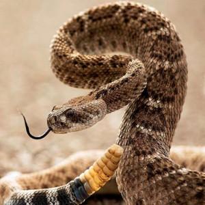 змеи женщине снятся чему коричневые к