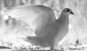Белая птица у окна