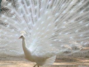 Приснился белый павлин
