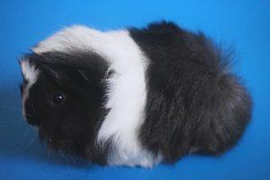 Черно-белая морская свинка