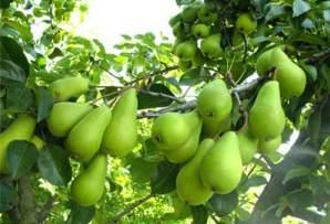 Небольшие зеленые плоды
