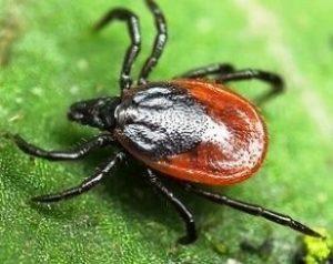 Кровососущее насекомое