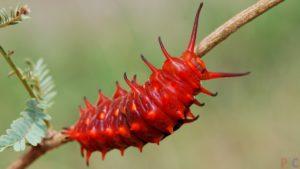 Яркая красная личинка