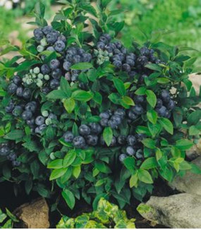 Выращивание черники в саду 46
