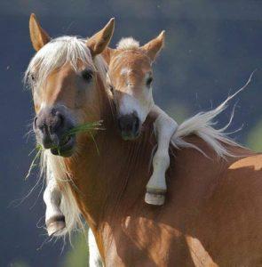 Видеть лошадь с жеребенком