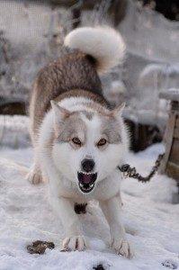 Маленький пес на цепи