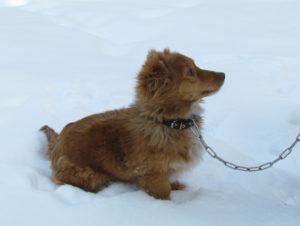 Рыжая собака на цепи