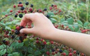 Срывать ягоды