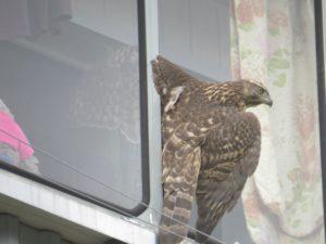Ястреб у окна