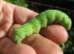 Зеленое насекомое