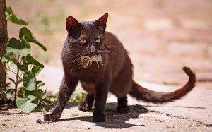 Кошка охотятся за мышью