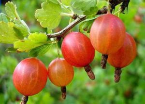 Кисло-сладкие ягоды