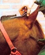 Остриженная грива коня