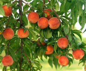 Плоды ждут сбора урожая