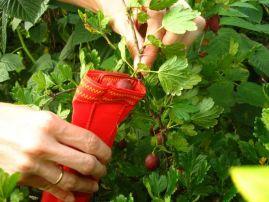 Собранная ягода