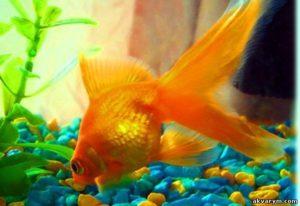 Обитает в аквариуме