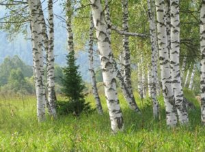 Белокорое дерево