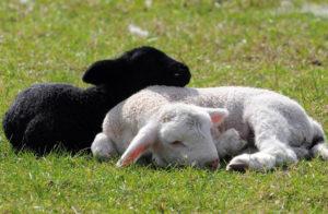 Черное и белое животное