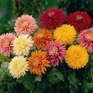 Роскошные осенние цветы