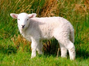 Детеныш овцы