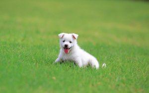 Белая собачка