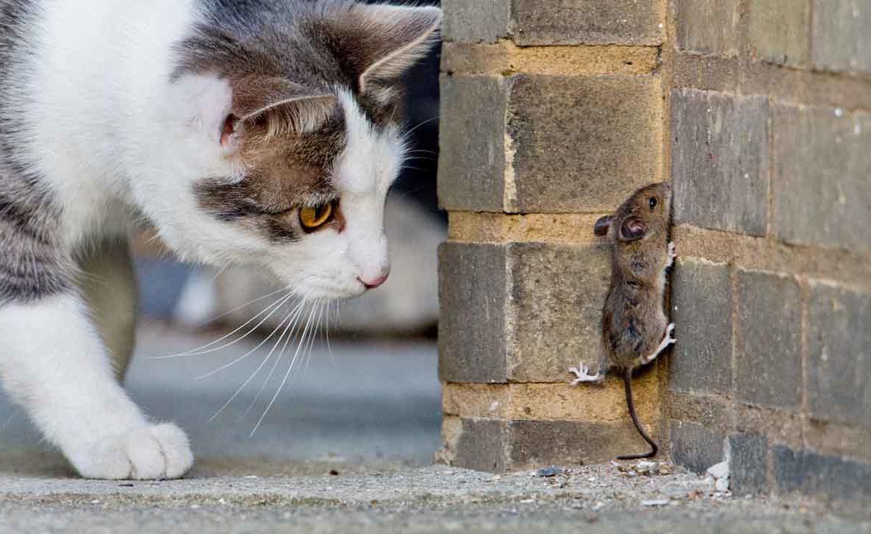 лучшие породы котов для ловли мышей