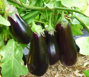 Фиолетовый овощ