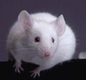 Белый грызун