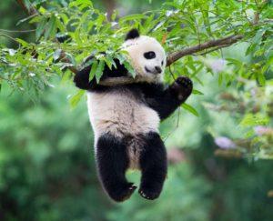 Жующее бамбук животное