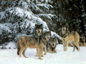 Отгонять волков