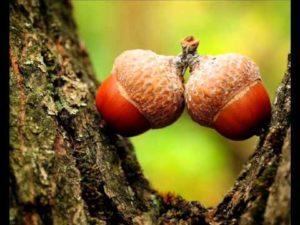 Семена дуба
