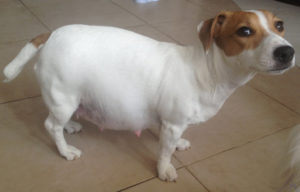 Беременное животное