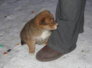 Подбирать щенка