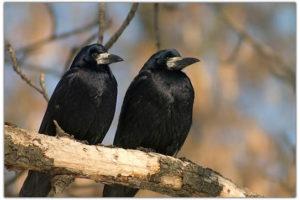 Черные птицы