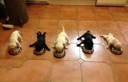 Кормить щенят